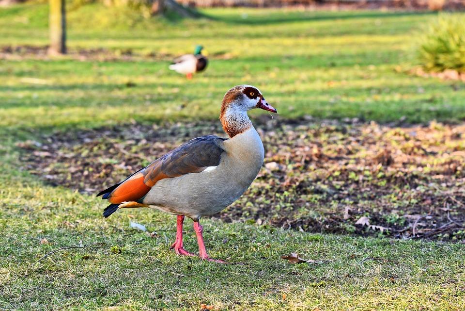 Egyptian Goose, Duck, Bird, Waterbird, Aquatic Bird