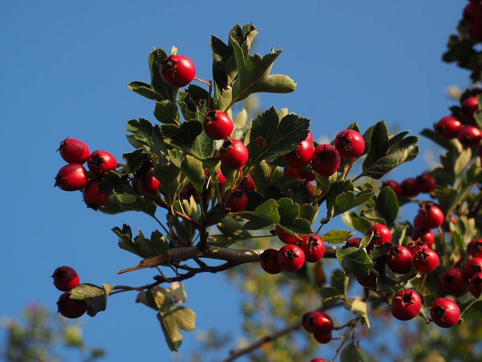 Berries, Fruits, Red, Eingriffeliger Hawthorn, Bush