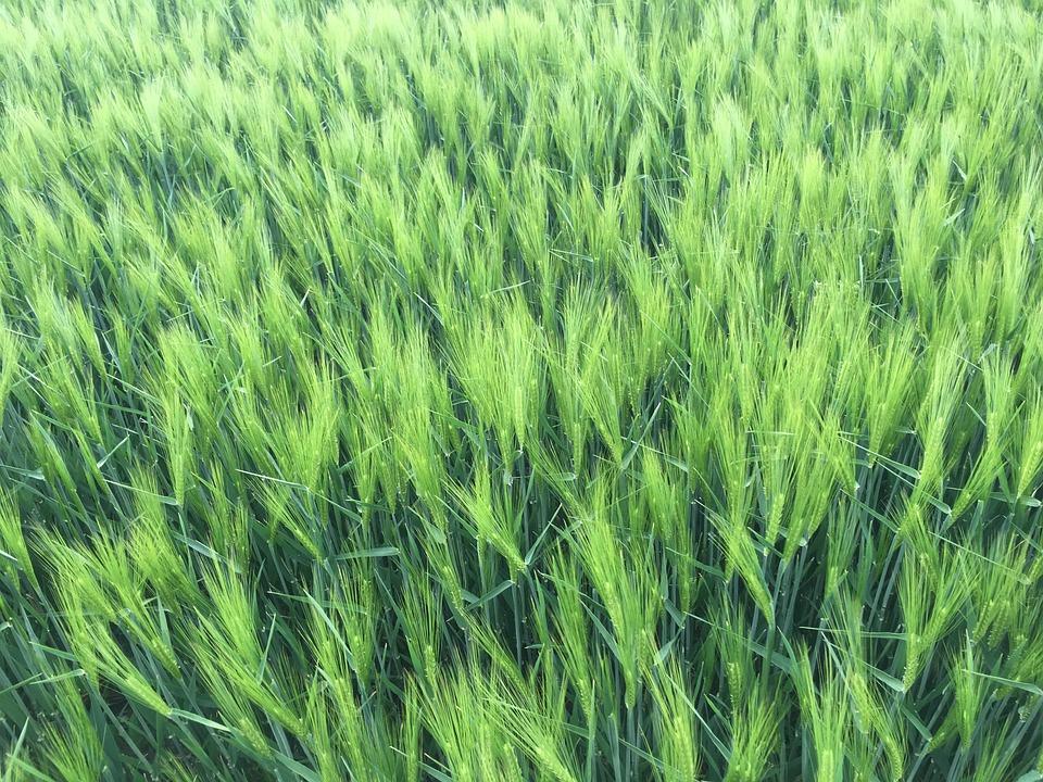 Wheat, Einkorn, Field, Agriculture, Cereals