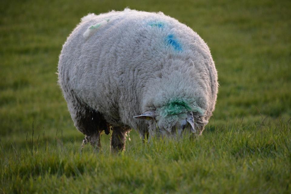 Sheep, Dike, Autumn, Sheep On Dyke, Wool, Elbe