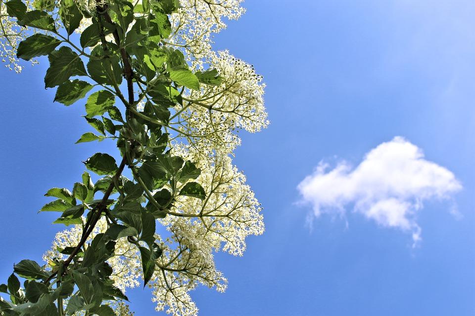 Elder, Flowers, White, Umbel, Branch, Sky, Cloud