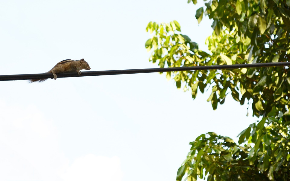 Squirrel, Animal, Electric Wire, Wire, Chipmunk