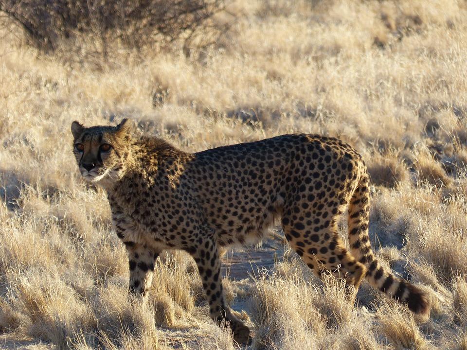 Cheetah, Elegant, Wildcat