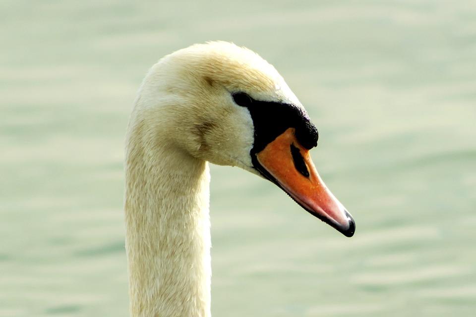 Mute Swan, Swan, Bird, White, Swim, Pride, Elegant