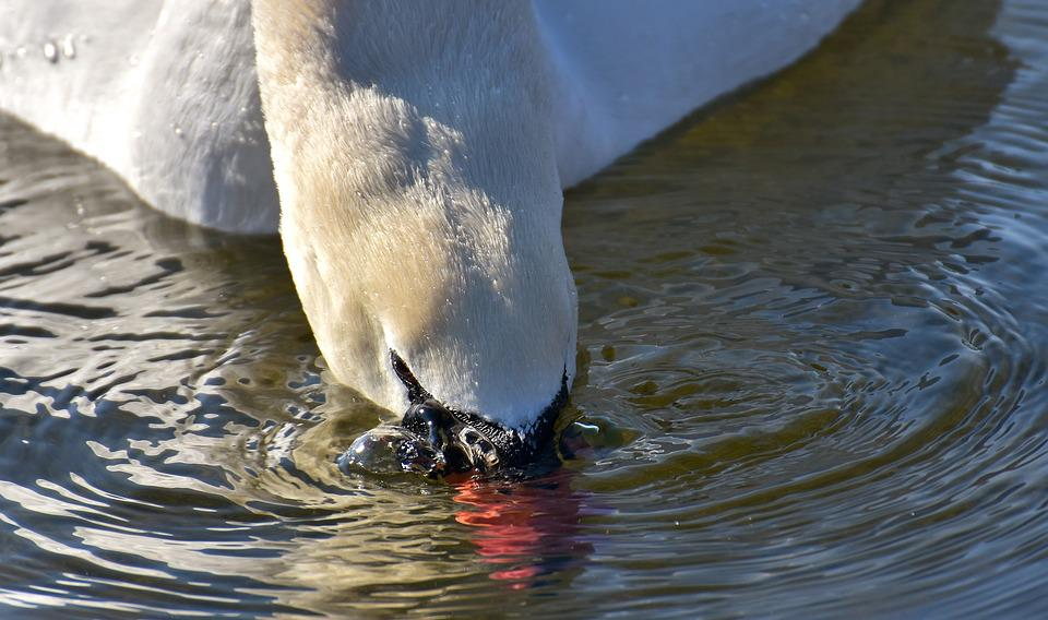 Swan, Elegant, Water Bird, Poultry, Plumage, Winter