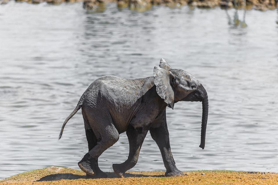 Elephant, Namibia, Baby, Water, Africa, National Park