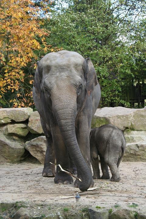 Elephant, Zoo, Animals, Trunk, Nature, Baby Elephant