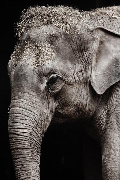 Animal, Big, Black, Close-up, Detail, Elephant, Eye
