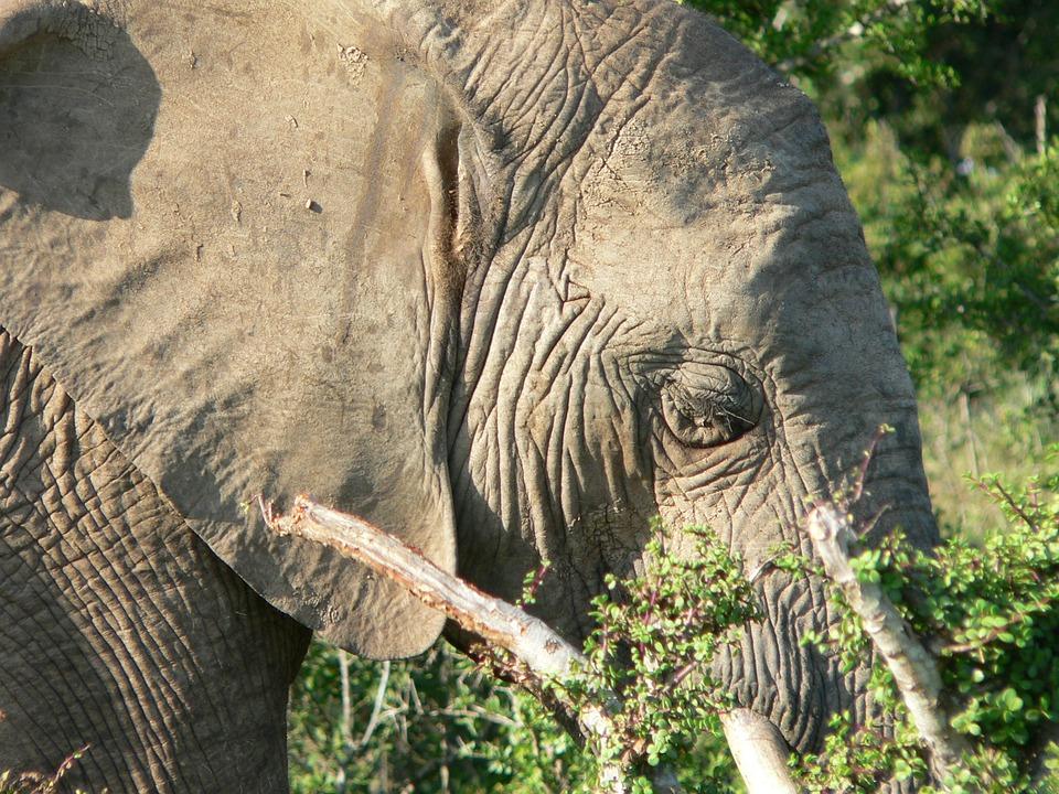 Elephant, Head, Close, Pachyderm, Africa