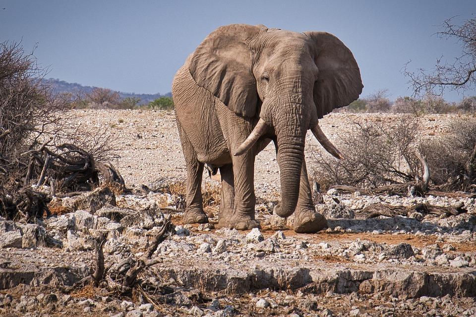 Elephant, Etosha, Namibia, Animal World, National Park