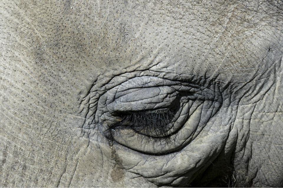 Tearing, Elephant, Eye, Nature, Animal, Wildlife