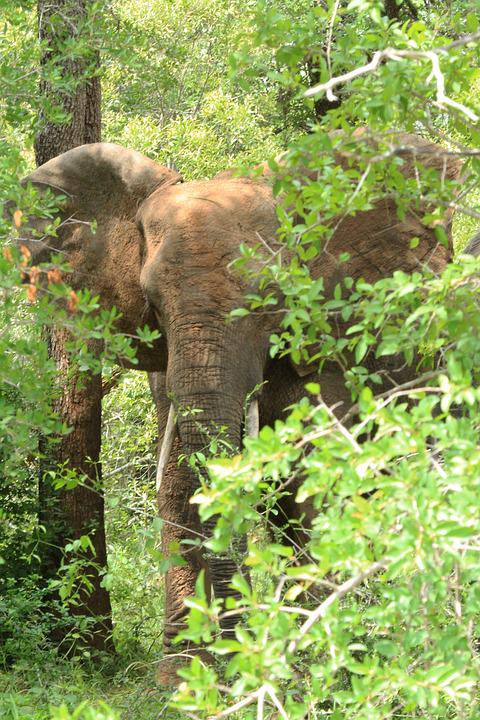 Elephant, Hidden, Tree, Animal, Forest, Wildlife