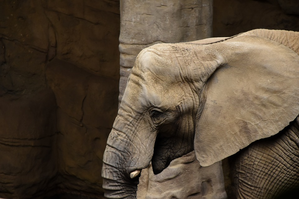 Elephant, Zoo, Animal, Head, Mammal