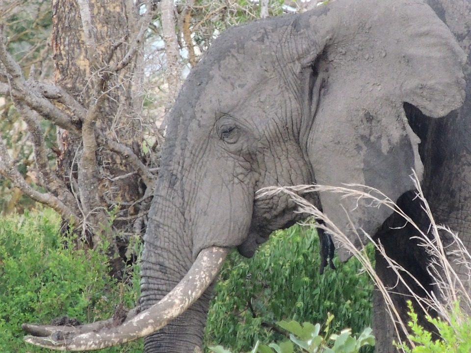Elephant, Elephant Head, The African Elephant