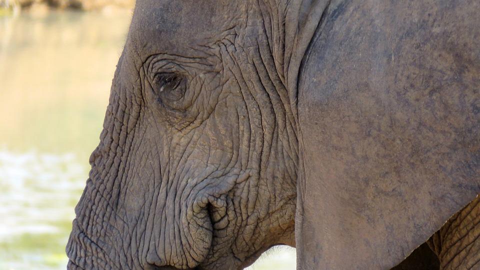 Elephant, Nature, Wildlife, African, Mammal, Safari