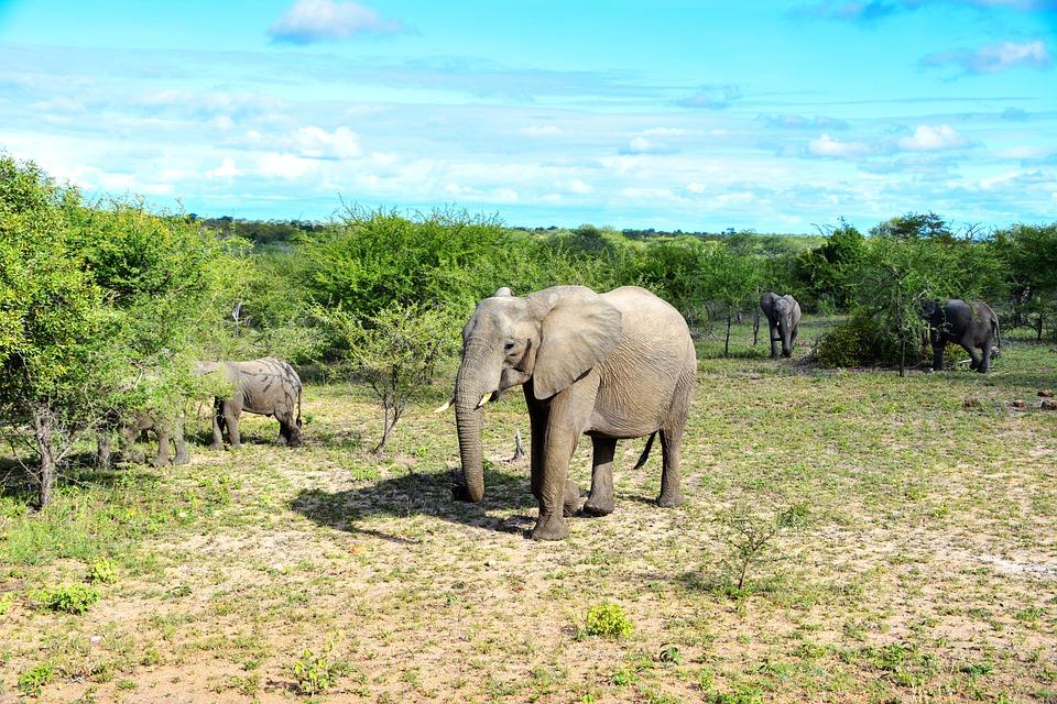 Elephant, African Bush Elephant, Pachyderm
