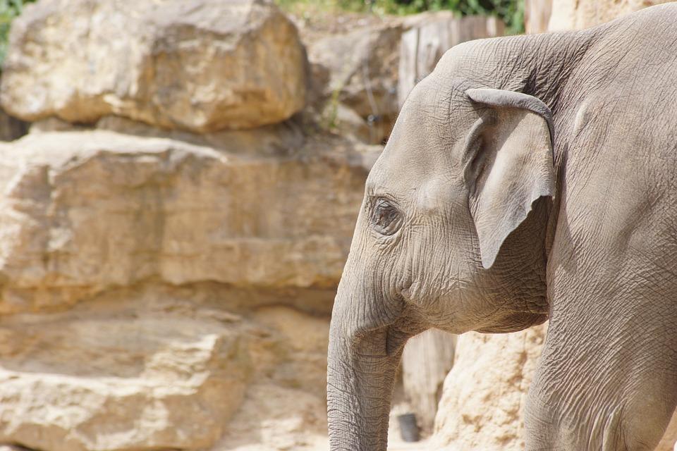 Zoo, Elephant, Pachyderm, Proboscis, Animal Portrait