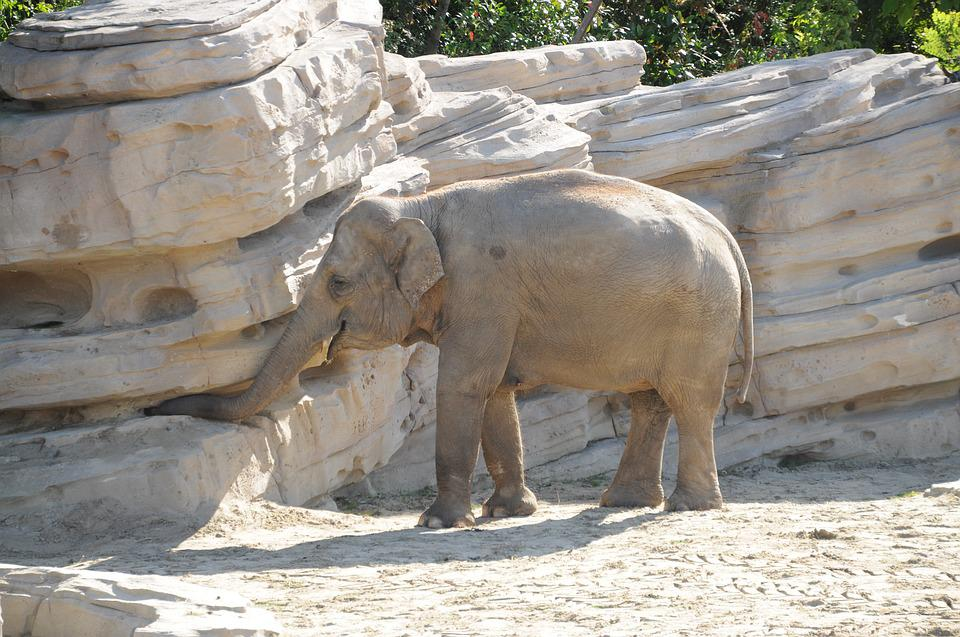Elephant, Animal, Zoo, Young, Pachyderm