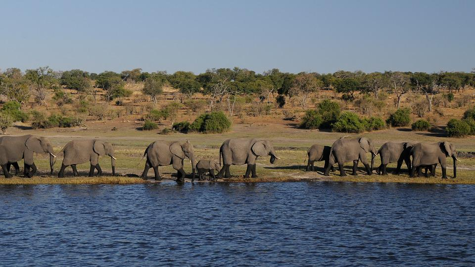 Elephant, Africa, River, Botswana, Chobe