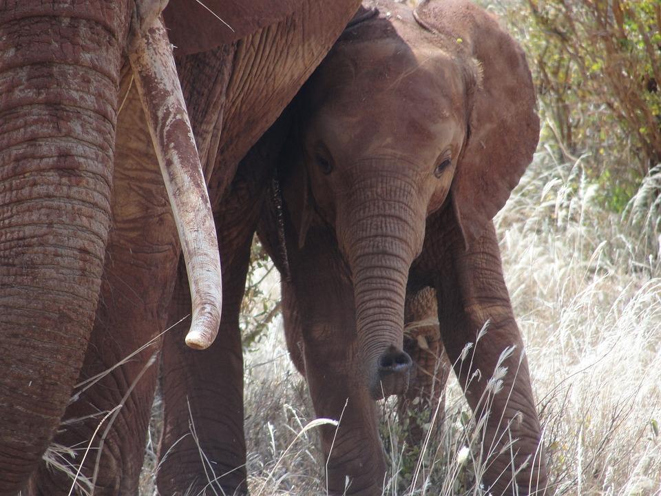 Safari, Kenya, Elephant, Elephant Calf, East Africa