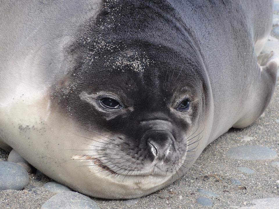 Elephant Seal, Subantarctic, Weaner, Mirounga, Animal