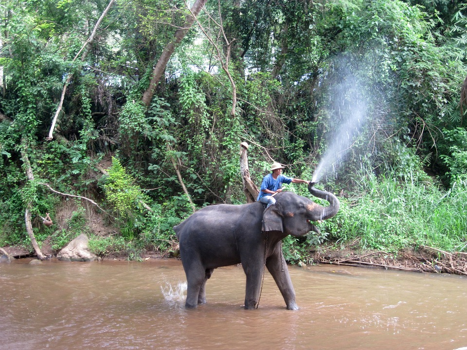 Elephant, Mahout, Train Elephants, Wade, Splash