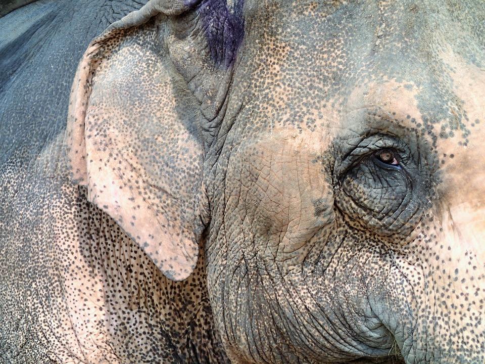 Elephant, Eye, Thailand