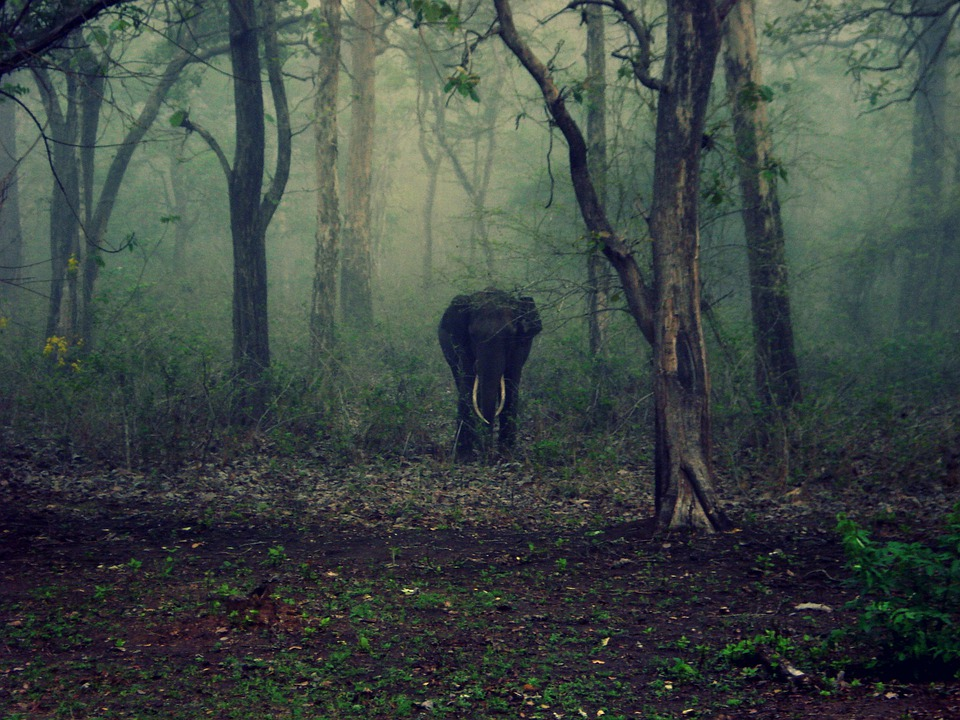 Elephant, The Elephant, Mammal, Animal, Tusks, Wildlife
