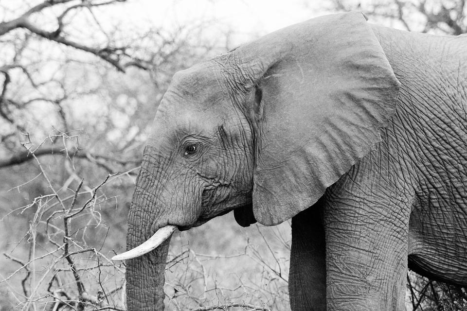 Elephant, Pachyderm, Wildlife, Tusk, Endangered, Nature