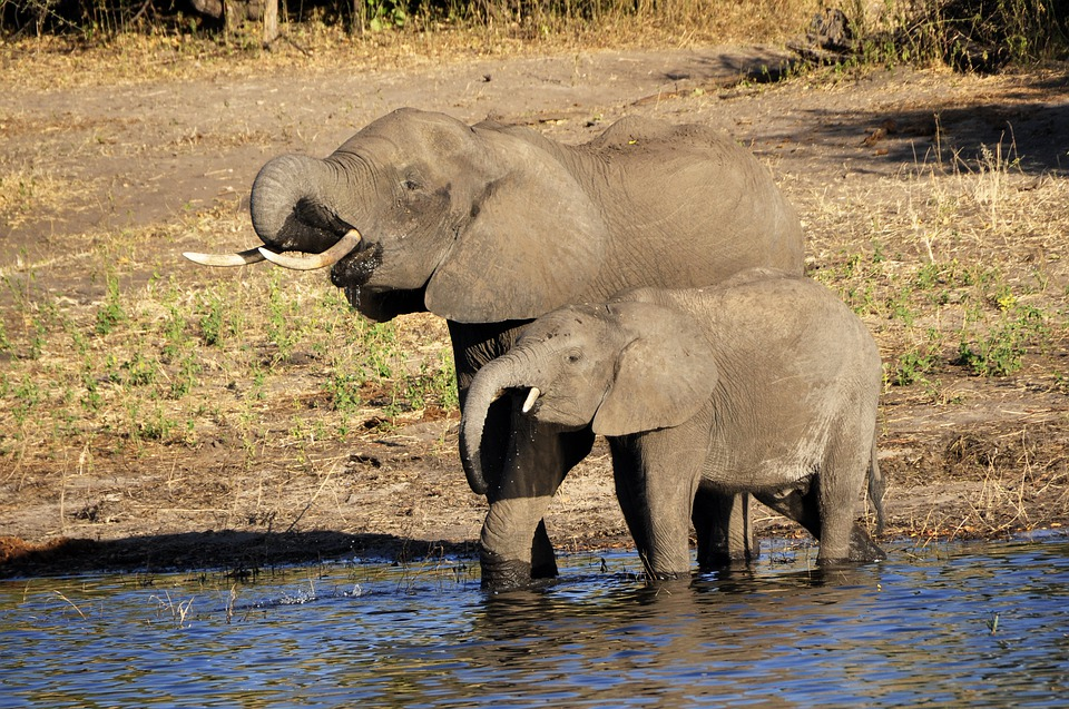 Elephant, Water Elephant, Elephant Calf, Drink, River