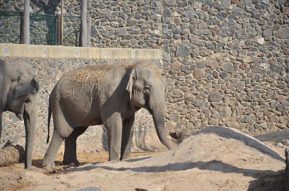 Elephant, Gray, Zoo, Animal