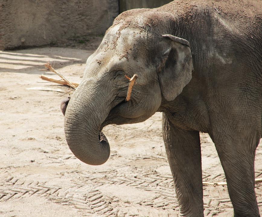 Elephant, Happy, African Bush Elephant, Zoo, Pachyderm
