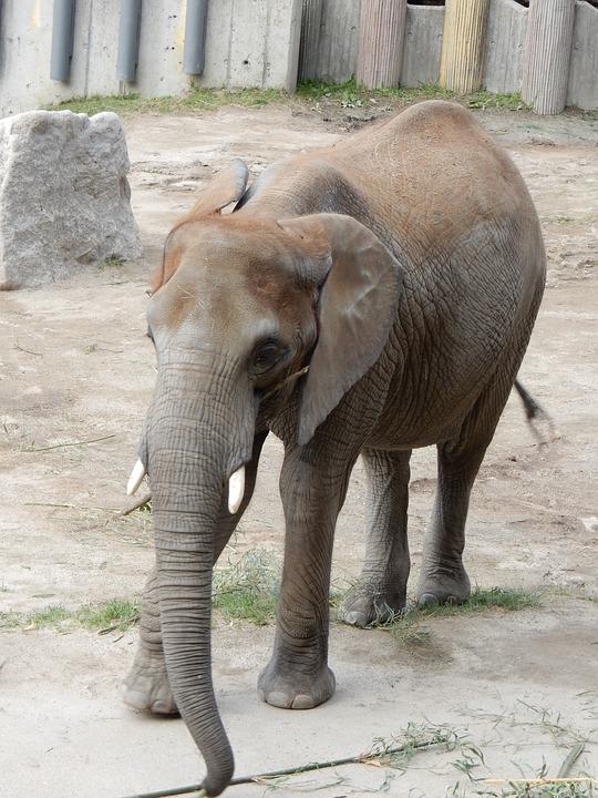 Elephant, Zoo, Pachyderm, Tusks, Grey