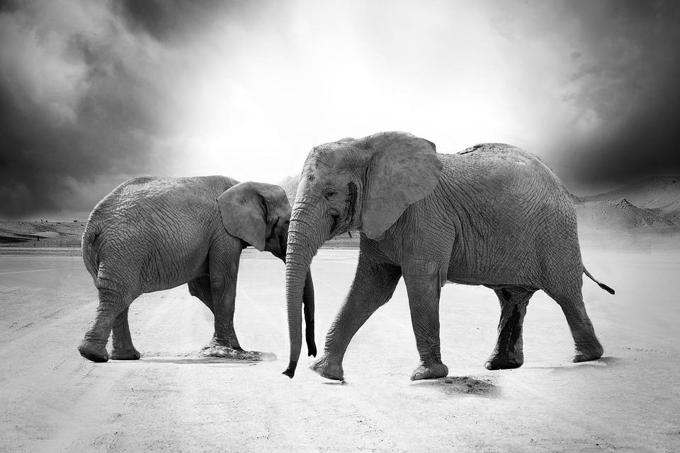 Elephants, Safari, Monochrome, Animals, Mammals