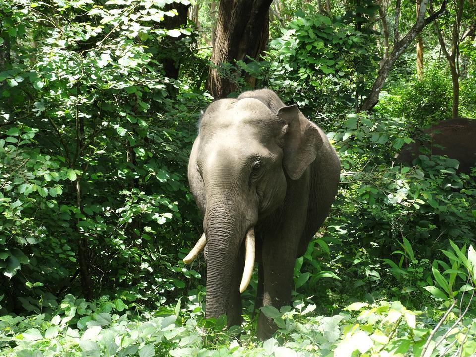 Indian Elephant, Elephants, Jungle, Wildlife, Nature