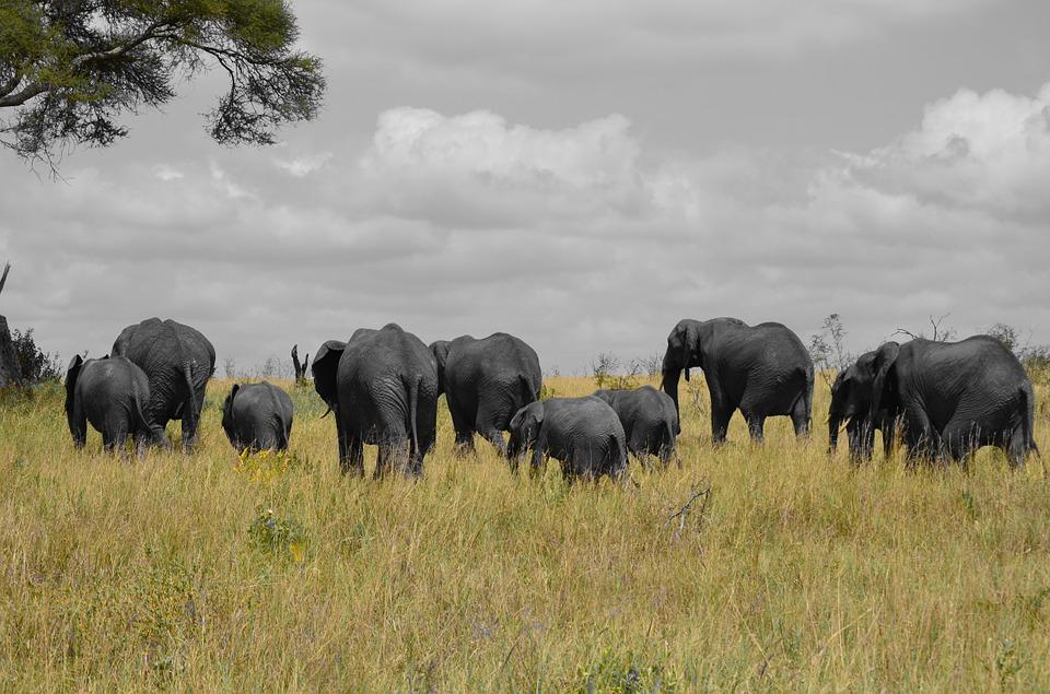 Elephants, Tanzania, Africa, Row, Nature, Baby Elephant