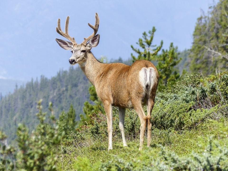 Elk, Wildlife, Nature, Animal, Antlers, Mammal, Buck