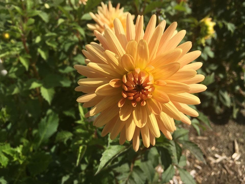 Dahlia, Embrace, Blossom