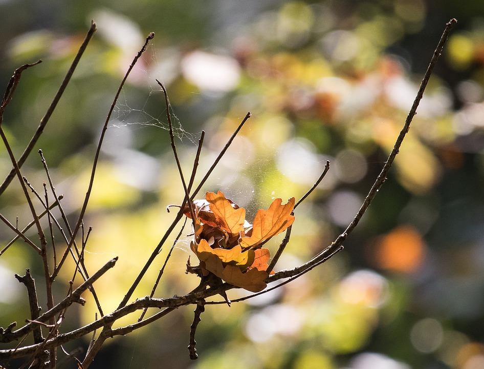 Autumn, Oak Leaves, Brown, Bokeh, Leaves, Tree, Emerge