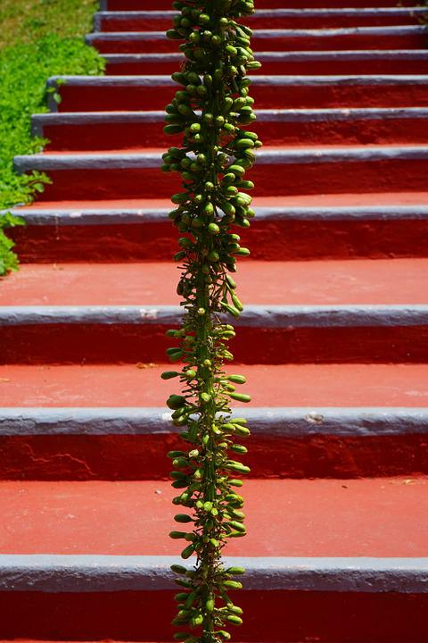 Dragon Tree-agave, Inflorescence, Stairs, Emergence