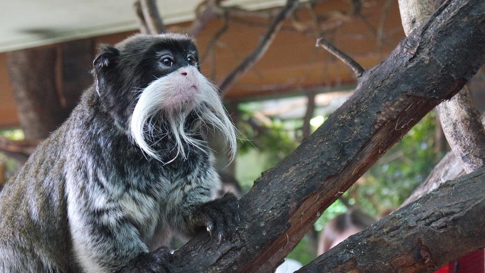 Emperor Tamarins, Monkey, London Zoo, Primates