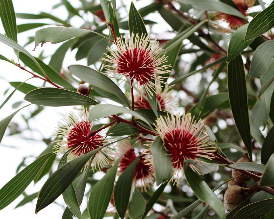Pin-cushion Hakea, Emu Bush, Flowers, Spherical, Nuts