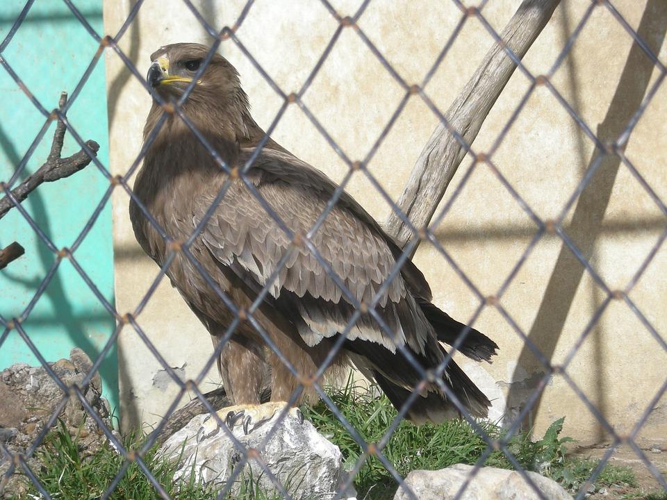 Eagle, Cage, Raptor, Bird Of Prey, Wild, Bird, Encaged