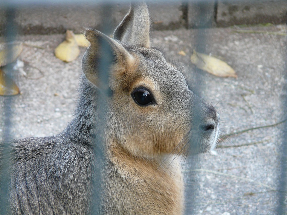 Patagonian Mara, Hare, Cage, Enclosure, Look, View