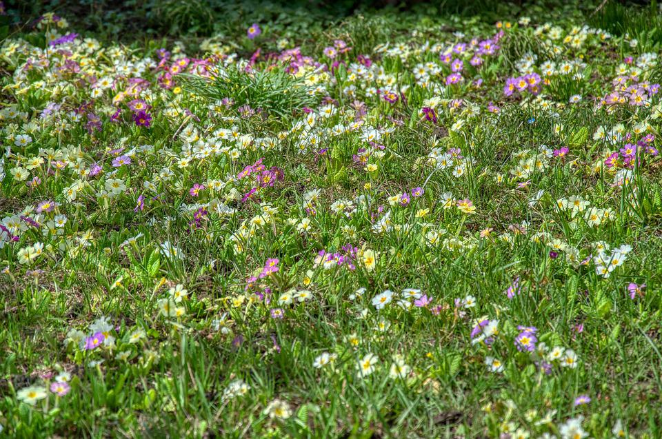 Flower Meadow, Primroses, Harbinger, End Of Winter