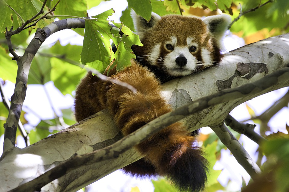 Red Panda, Endangered, Threatened, Cute, Climber, Panda