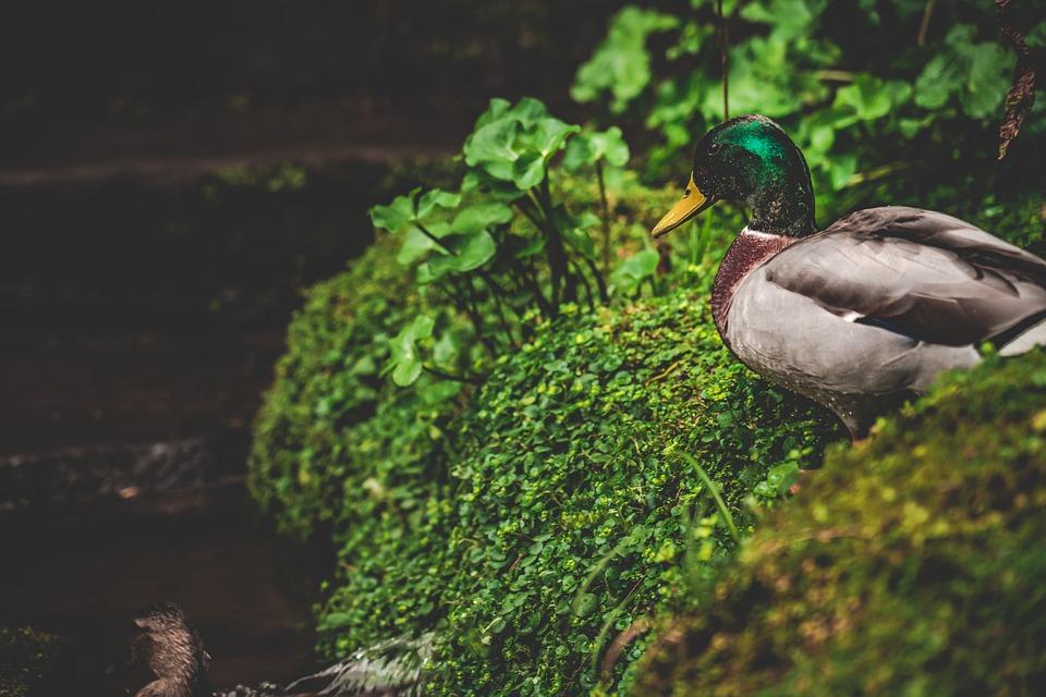 Wild, Duck, Nature, Lake, England, Uk, Garden, Animal