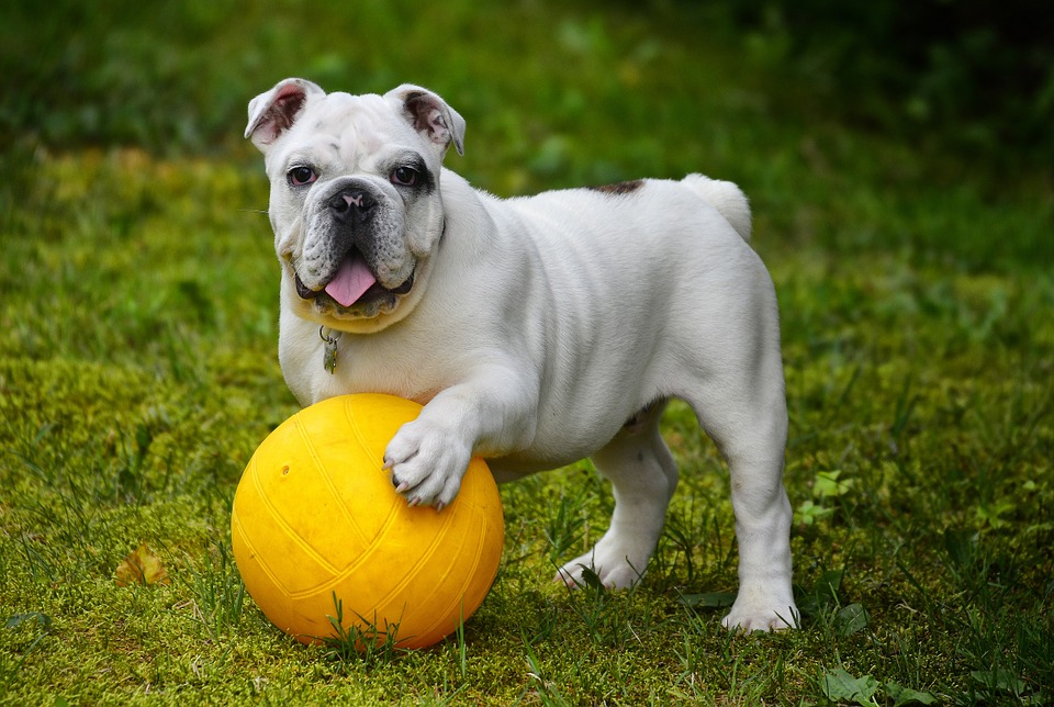 English Bulldog, Bulldog, Dog, Ball, Game, Installation