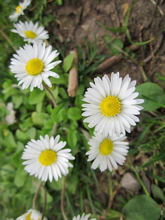 Bellis Perennis, English Daisy, Common Daisy