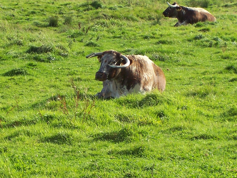 English Longhorn Cattle, Cows, Cattle, Brown And White